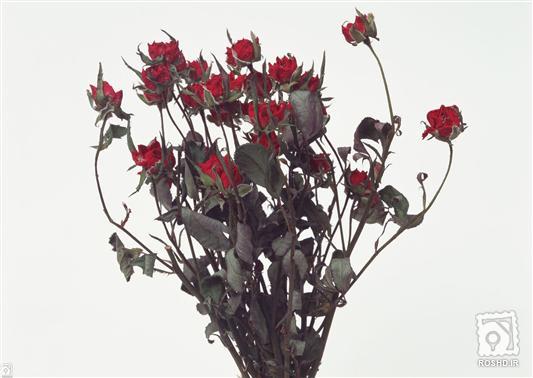 عکس+گل+خشک