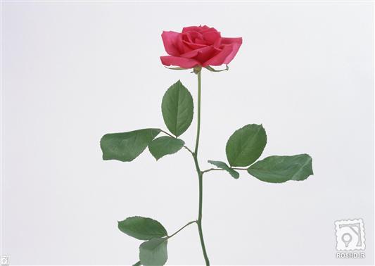 عکس+گل+رز+قرمز+تک+شاخه
