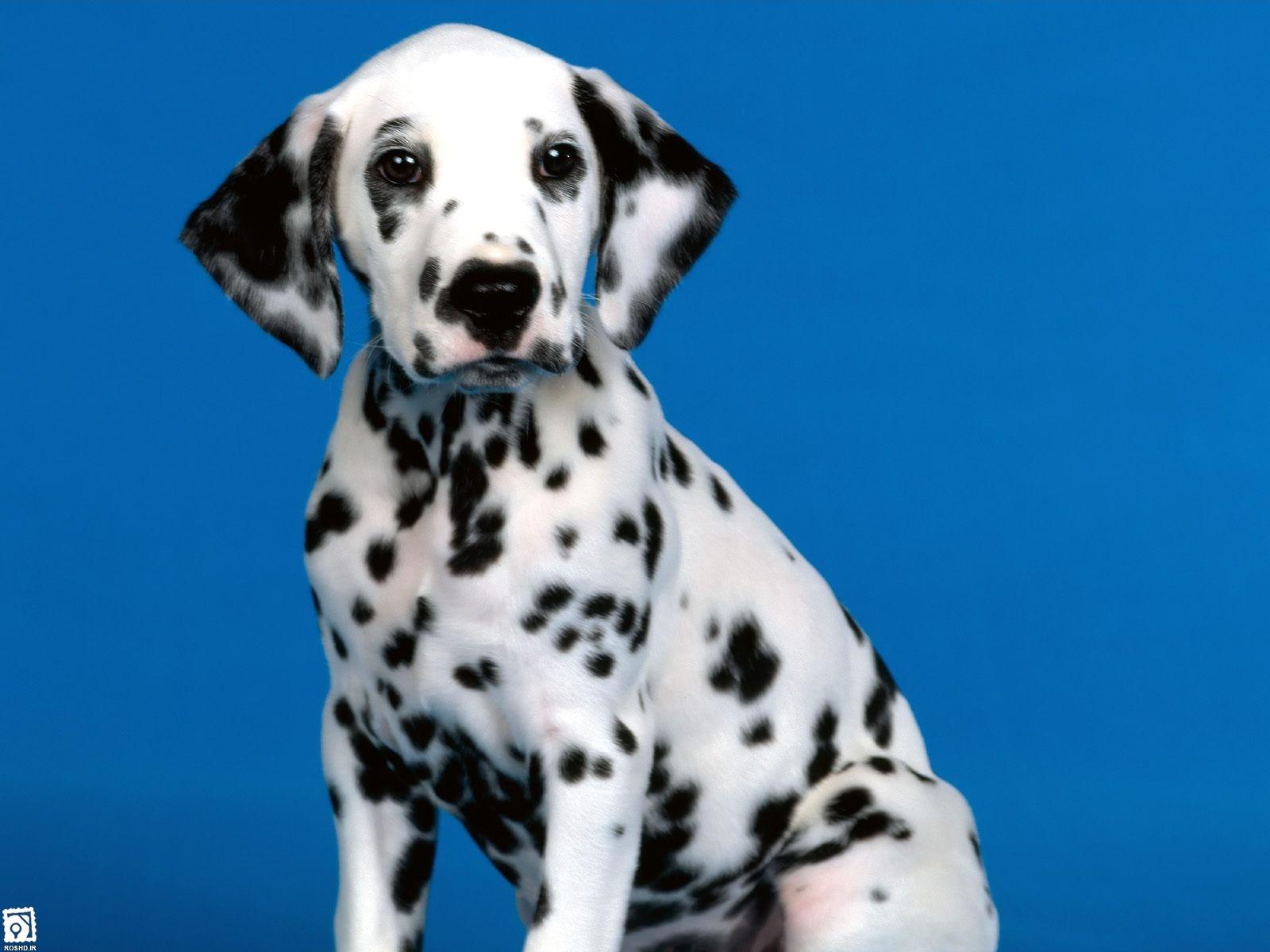 سگ خالدار