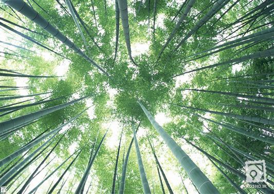 درخت خیزران یا نی هندی